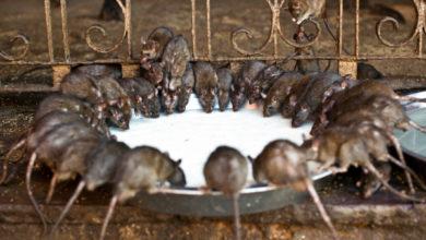 Photo of Необычные храмы: почему люди преклоняются перед крысами и змеями